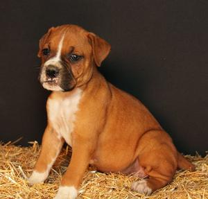 Pretty looking Boxer Puppies for prettyhome FOR SALE ADOPTION