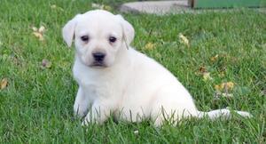Adorable Labrador Retriever puppies for adorable home FOR SALE ADOPTION