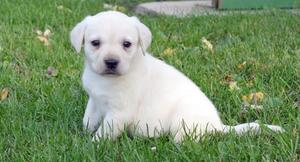 Awesome Labrador Retriever puppies for awesome home FOR SALE ADOPTION