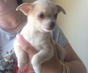 Kc Reg Smooth Coat Chihuahua Pups FOR SALE ADOPTION