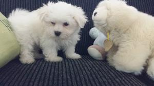 Male and female Maltese puppies for cute home FOR SALE ADOPTION
