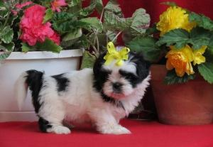 New looking Shih Tzu Puppies for new home FOR SALE ADOPTION