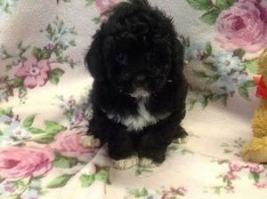 GORGEOUS SHIHPOO PUPPIES FOR SALE ADOPTION