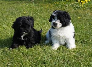 Shihpoo puppies boys and girls FOR SALE ADOPTION