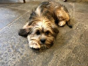 shih tzu x cavalier female pup FOR SALE ADOPTION