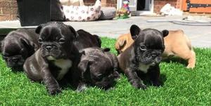 11 Week Kc Solid Blue French Bulldogs 2 Girls And 2 Boys Left FOR SALE ADOPTION