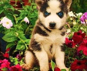 Beautiful Blue Eyes Siberian Husky Puppy FOR SALE ADOPTION