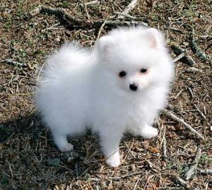 xx Outstanding super quality white KC Pomeranian male and Female Bella and Rex FOR SALE ADOPTION