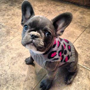 AKC french bulldog puppies FOR SALE ADOPTION