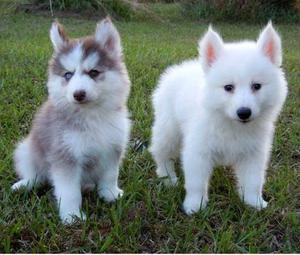 Top quality Pomsky puppies FOR SALE ADOPTION