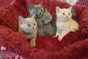Beautiful Pedigree Gccf British Shorthair Kittens FOR SALE ADOPTION