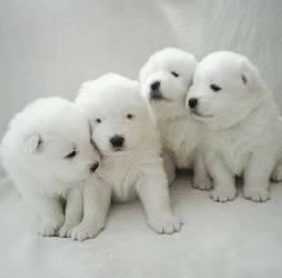 Beautiful samoyed puppies for sale FOR SALE ADOPTION
