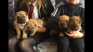 Champion Bloodlines Shar Pei Kc Reg GORGEOUS LITTER NOW ARRIVED FOR SALE ADOPTION