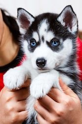 Male and female Siberian Husky puppies for sale FOR SALE ADOPTION