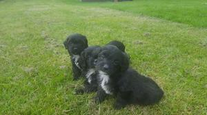 Shihpoo Pups For Sale FOR SALE ADOPTION