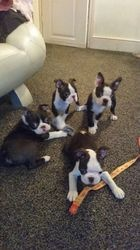 Stunning Health Tested Boston Males puppies FOR SALE ADOPTION