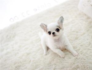 Teacup chihuahua puppy s for sale FOR SALE ADOPTION