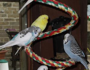 Baby Budgies For Sale FOR SALE ADOPTION