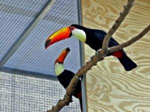 Breeding Pair of Toco Toucans for Sale FOR SALE ADOPTION