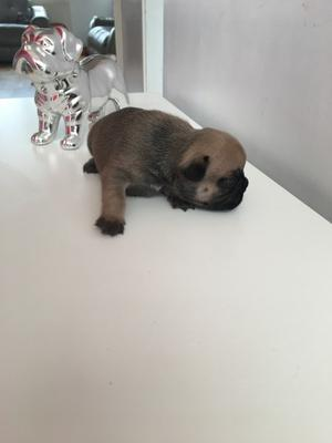 Can Go Today Stunning Fawn French Bulldogs FOR SALE ADOPTION