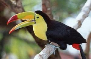 Nice Toucan Birds For sale FOR SALE ADOPTION