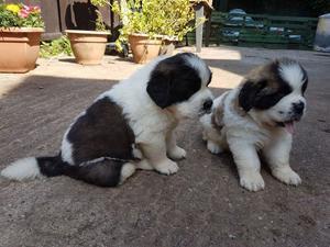 St Bernard Puppies FOR SALE ADOPTION