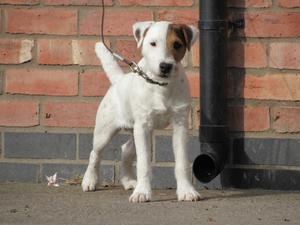 Top Quality Jack Russell Dog Puppy FOR SALE ADOPTION
