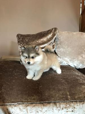 Beautiful Pomsky Puppies Only 1 Girl Remaining FOR SALE ADOPTION