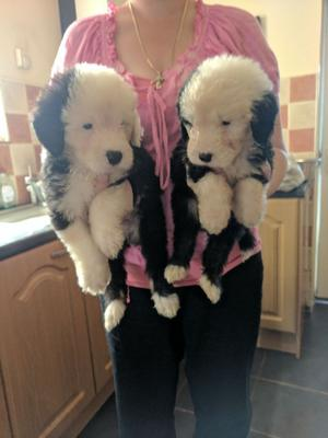 K c Registered Old English Sheepdog Pups FOR SALE ADOPTION