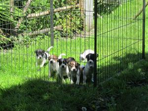 Parson Jack Russell Terrier Pups FOR SALE ADOPTION