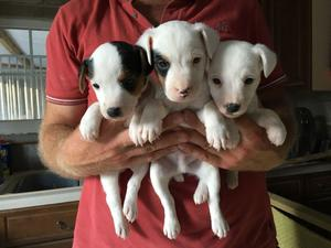Parsons Jack Russel Terriers For Sale FOR SALE ADOPTION