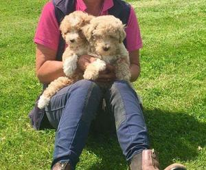 Stunning Miniature Poodles FOR SALE ADOPTION