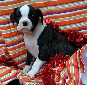 jones male french bull dog puppy now ready FOR SALE ADOPTION