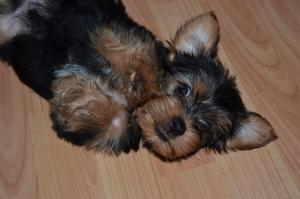 Adorable Yorkshire Terrier Puppies FOR SALE ADOPTION