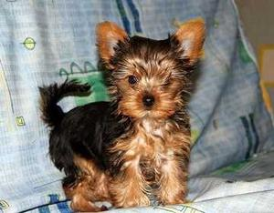 Awesome Yorkshire Terrier Puppies FOR SALE ADOPTION