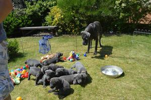 Blue Great Dane Pups FOR SALE ADOPTION