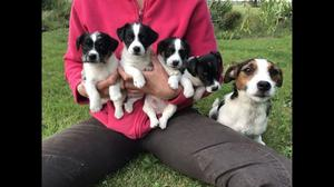Gorgeous Jack Russell Terrier Pups For Sale FOR SALE ADOPTION