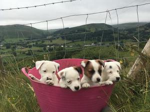 Jack Russell pups For Sale FOR SALE ADOPTION