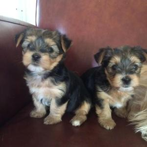 Lovely Yorkshire Terrier puppy FOR SALE ADOPTION