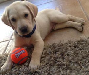 Purebred Labrador Puppies FOR SALE ADOPTION