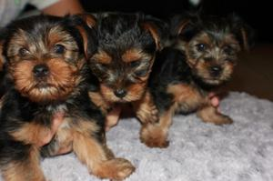 affectionate Yorkie puppy  FOR SALE ADOPTION