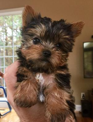 marvelous Yorkie puppy  FOR SALE ADOPTION