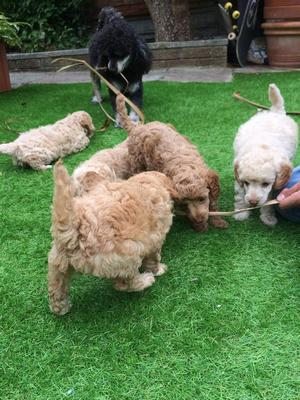 Beautiful Red And Apricot Miniature Poodle Puppies FOR SALE ADOPTION
