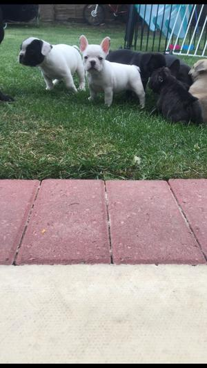 French Bulldogs FOR SALE ADOPTION