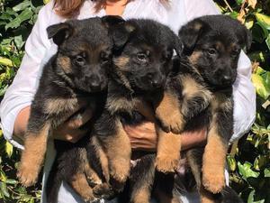Kc Registered German Shepherd Puppies FOR SALE ADOPTION