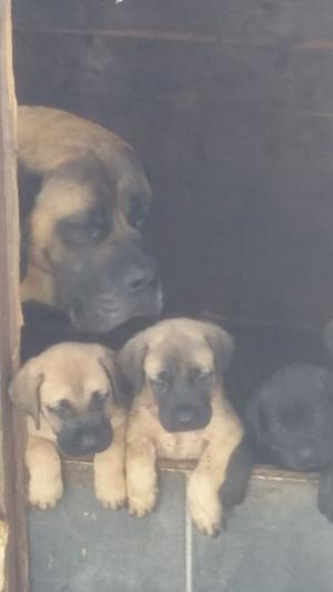 Old English Mastiff Puppies FOR SALE ADOPTION