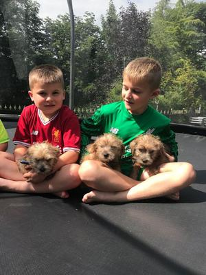 Reduced Kc Reg Norfolk Terrier Puppies FOR SALE ADOPTION