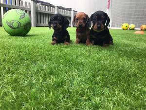 Stunning Miniature Dachshund Puppies FOR SALE ADOPTION