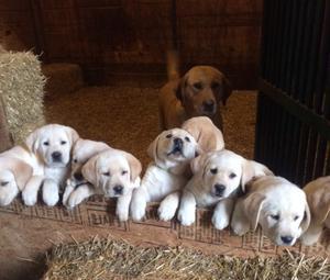 Charming Labrador retriever Puppies FOR SALE ADOPTION