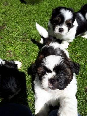 Kc Reg Lhasa Apso Puppies For Sale FOR SALE ADOPTION